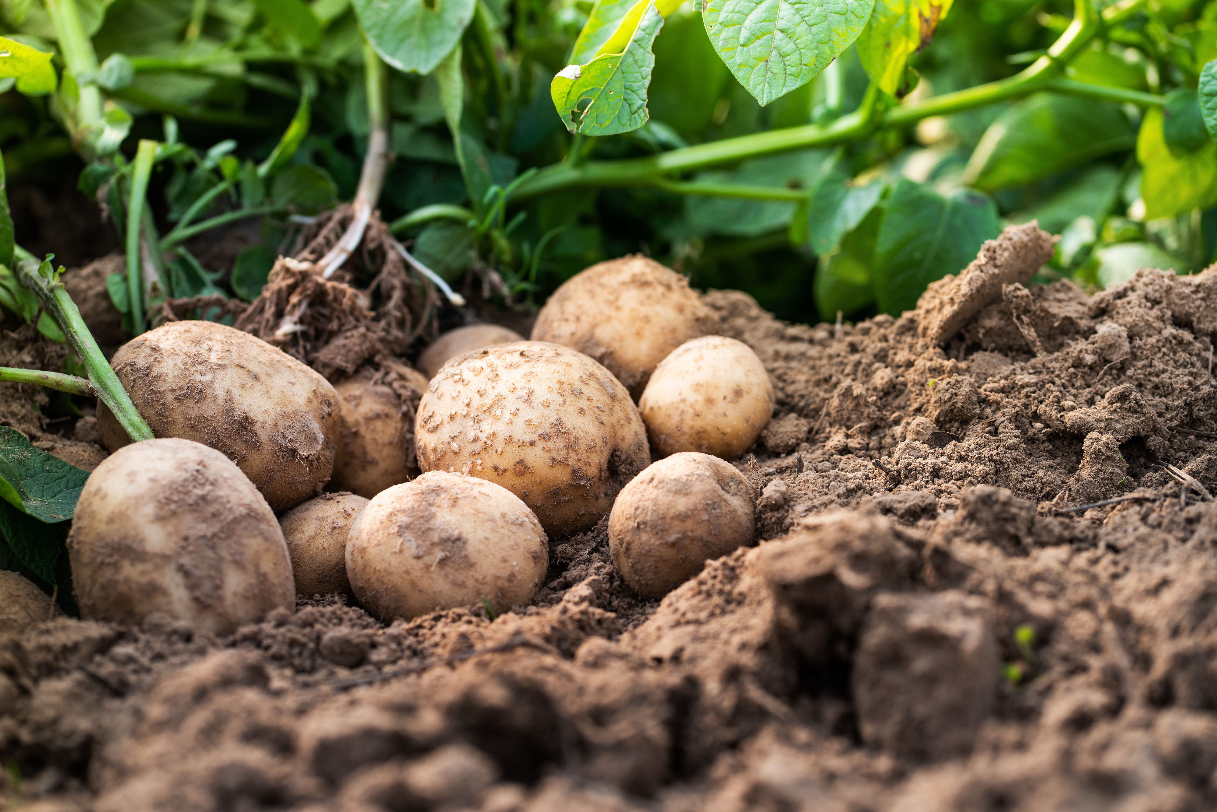 Fresh organic potatoes in the field-edited