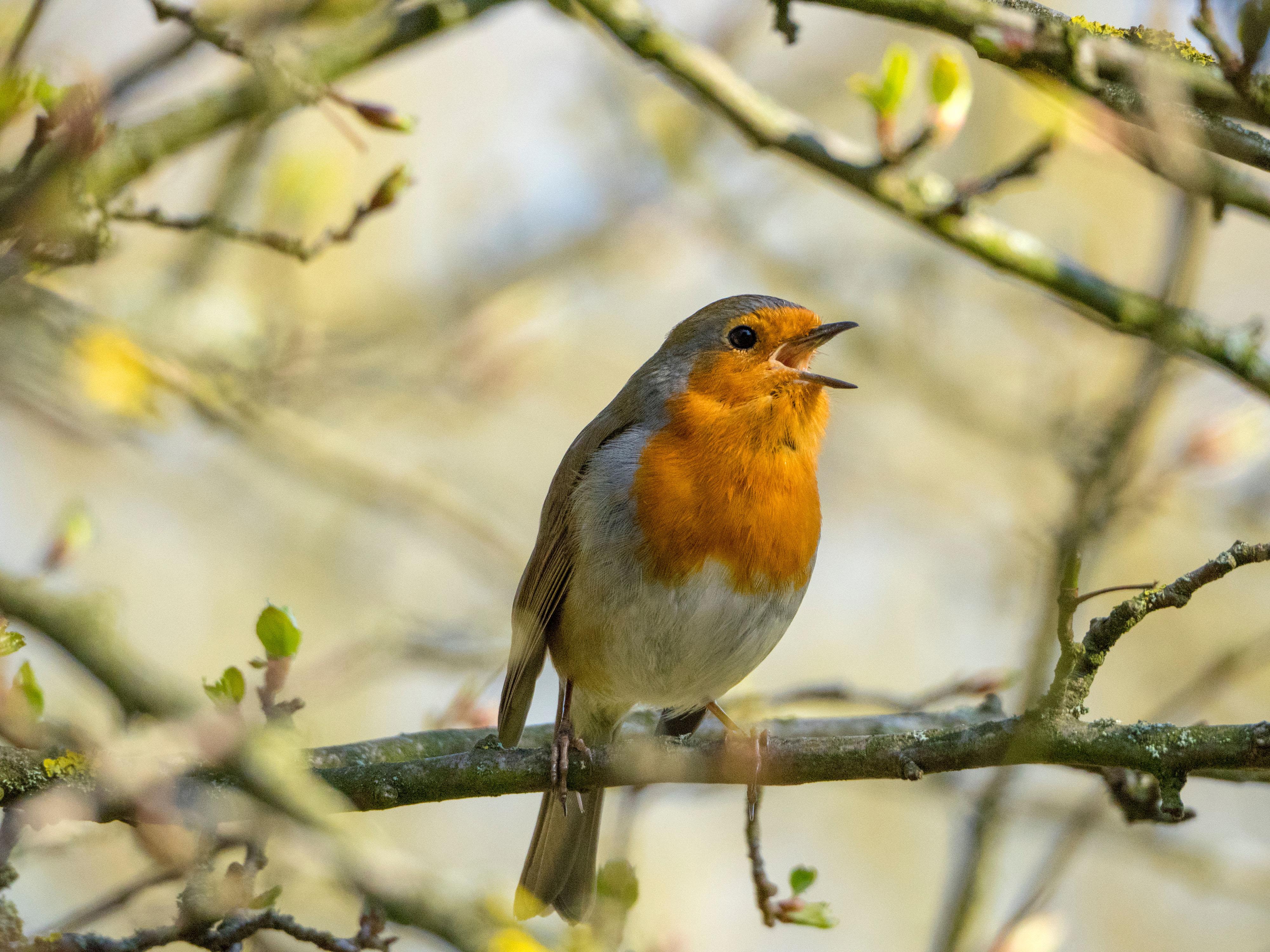Robin cantando1-editado