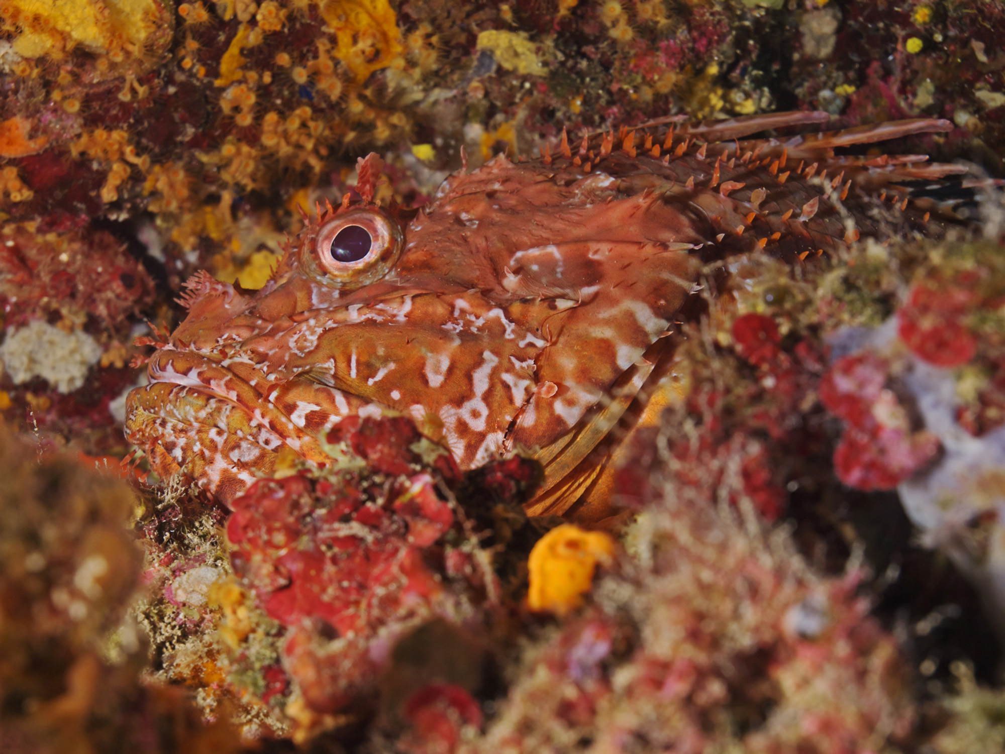 The great rockfish-Cropped