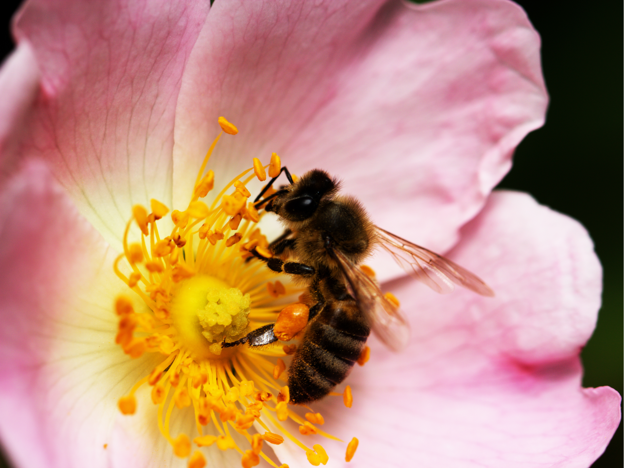 Bee on a flower of a pink flower - 72 ppi