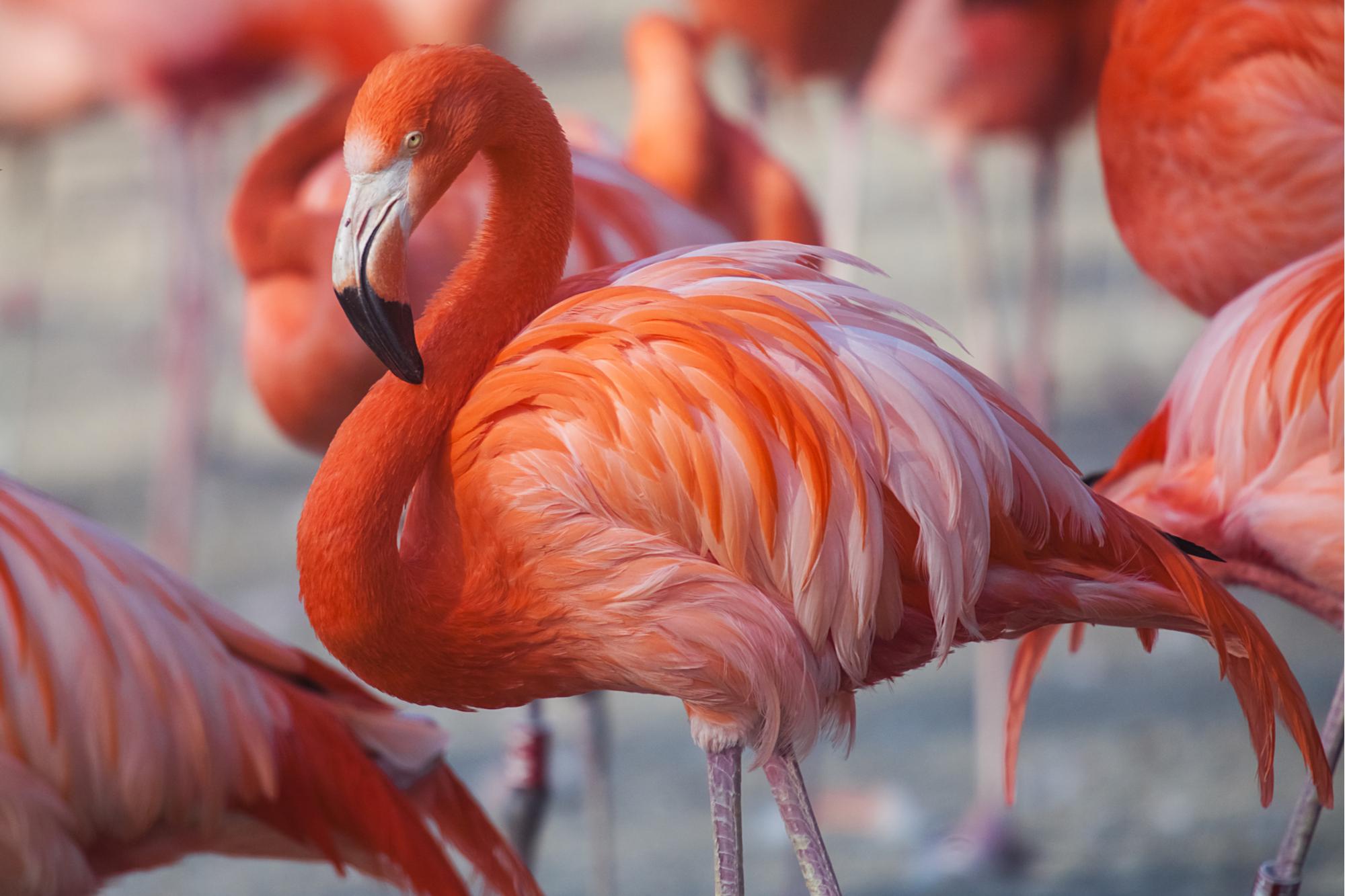 Flock of Pink Caribbean flamingos in water