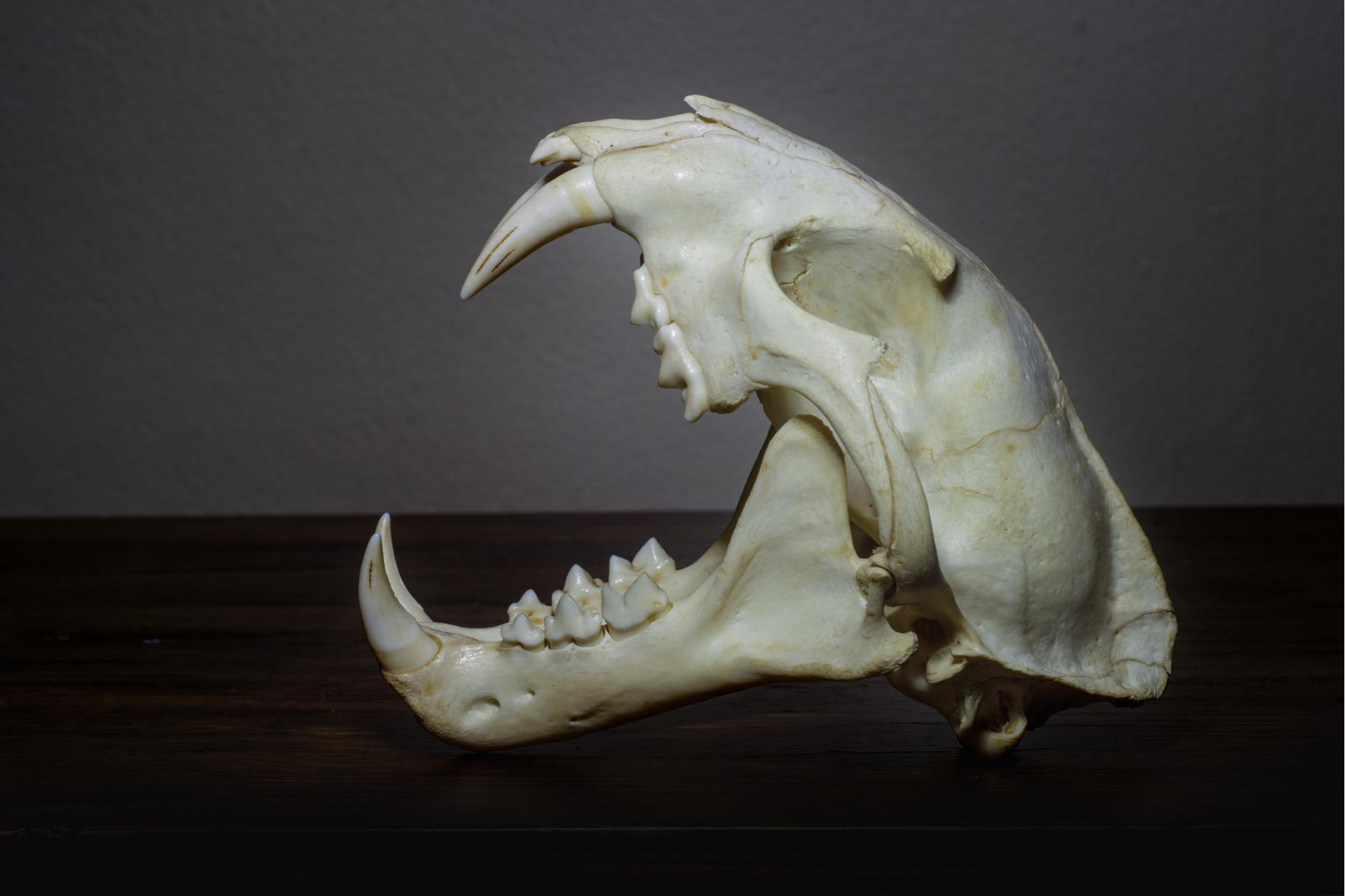 Leopard tiger skull