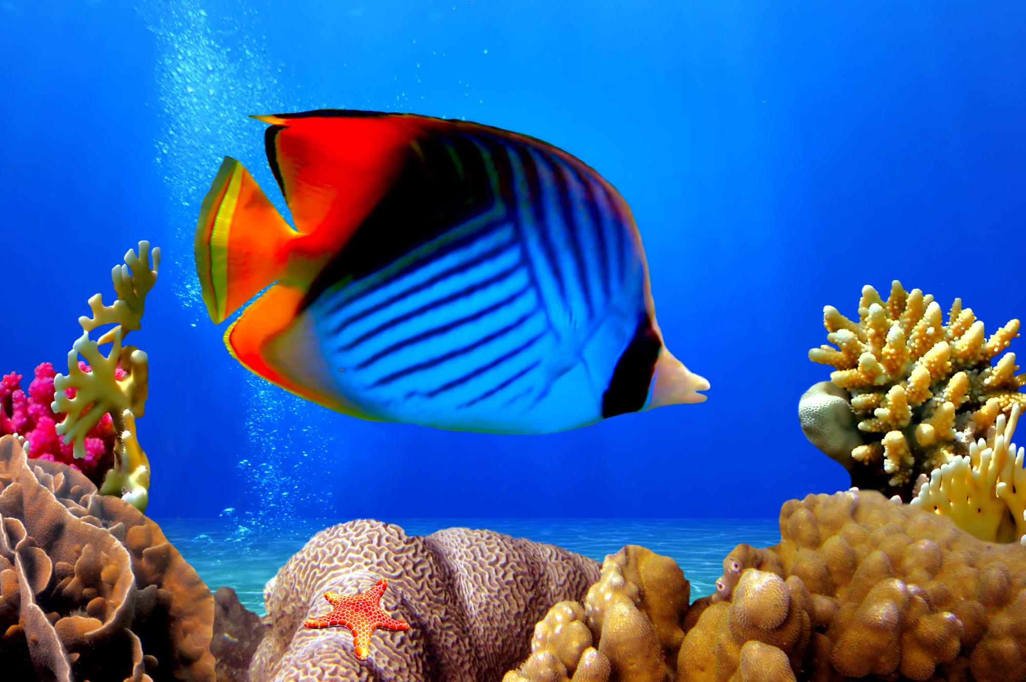 Peixe-borboleta Auriga