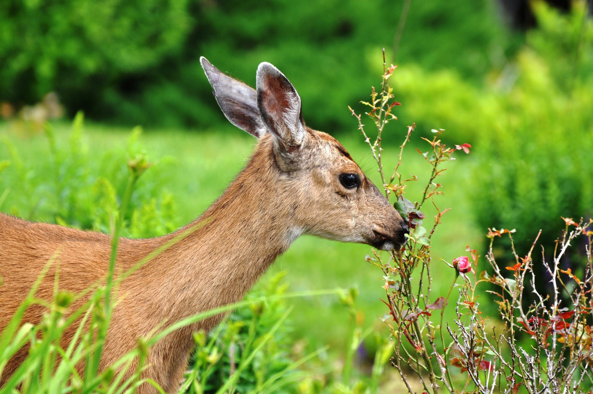 Corça comendo plantas no jardim