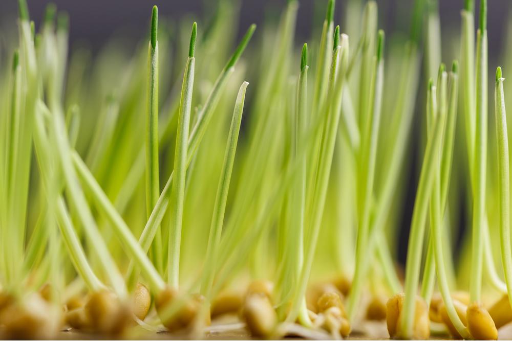 Close up of wheat (Triticum aestivum)