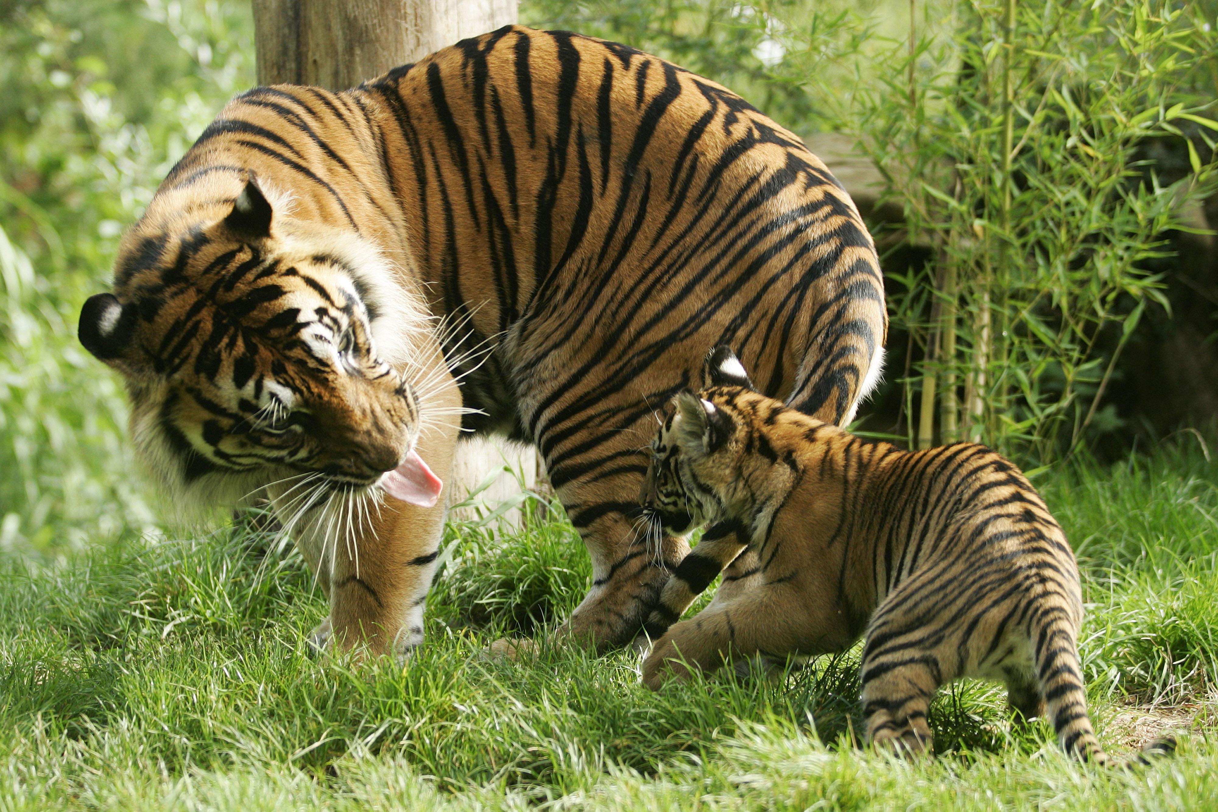 Tigre de Sumatra1-editado