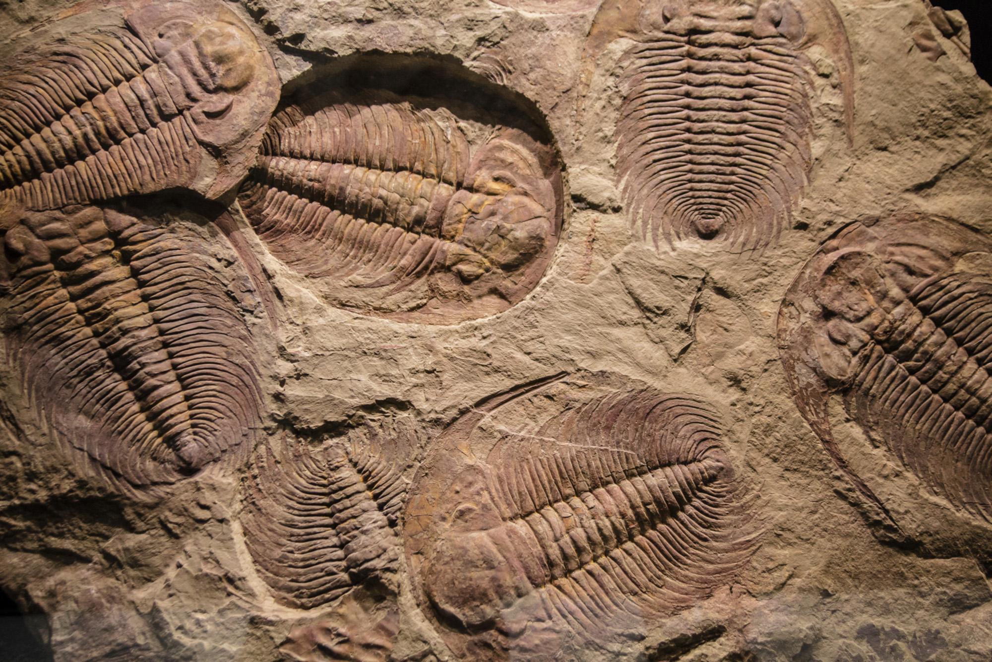أحفور آثار مفصليات ثلاثية الفصوص في الرواسب