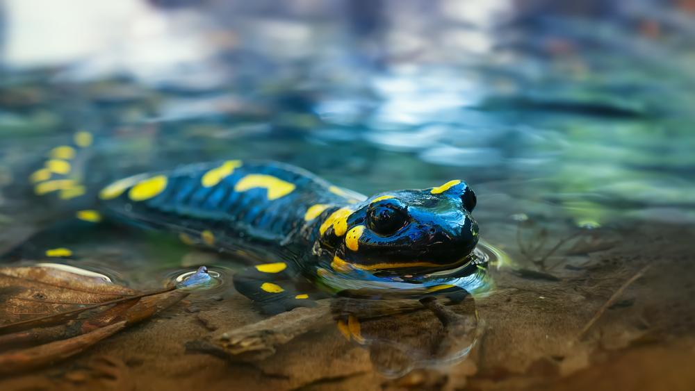 lizard Fire salamander