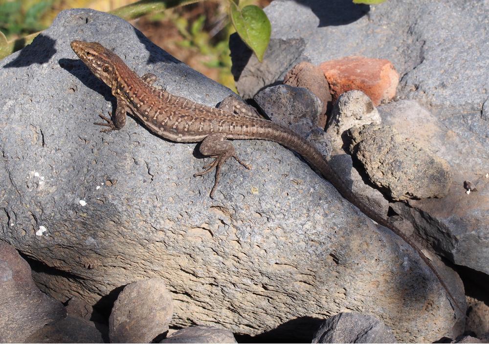 Tenerife lizard-edit