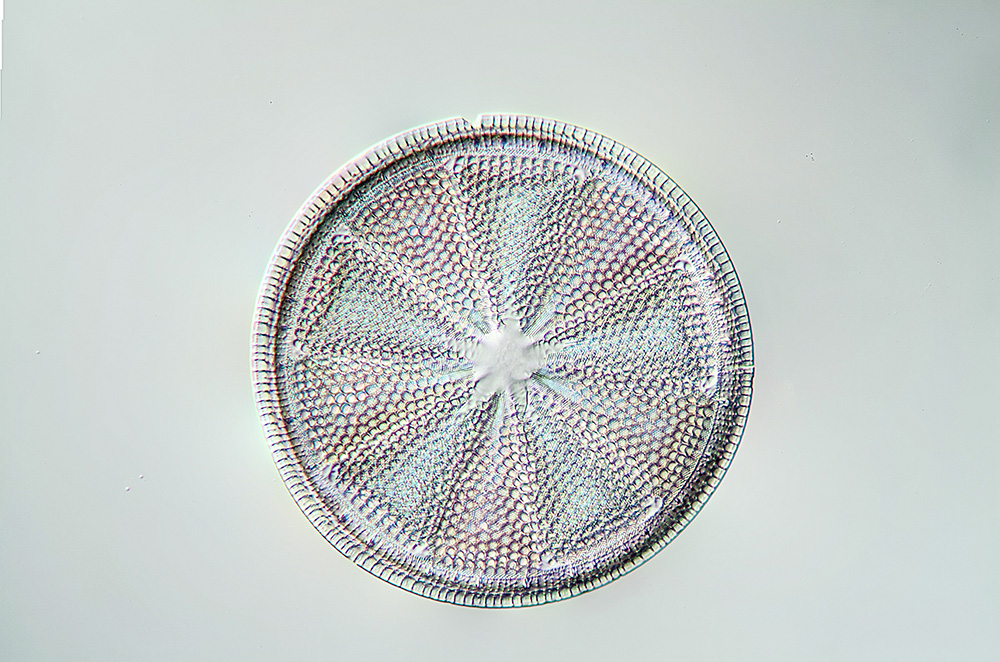 Diatoms Suriella magnification