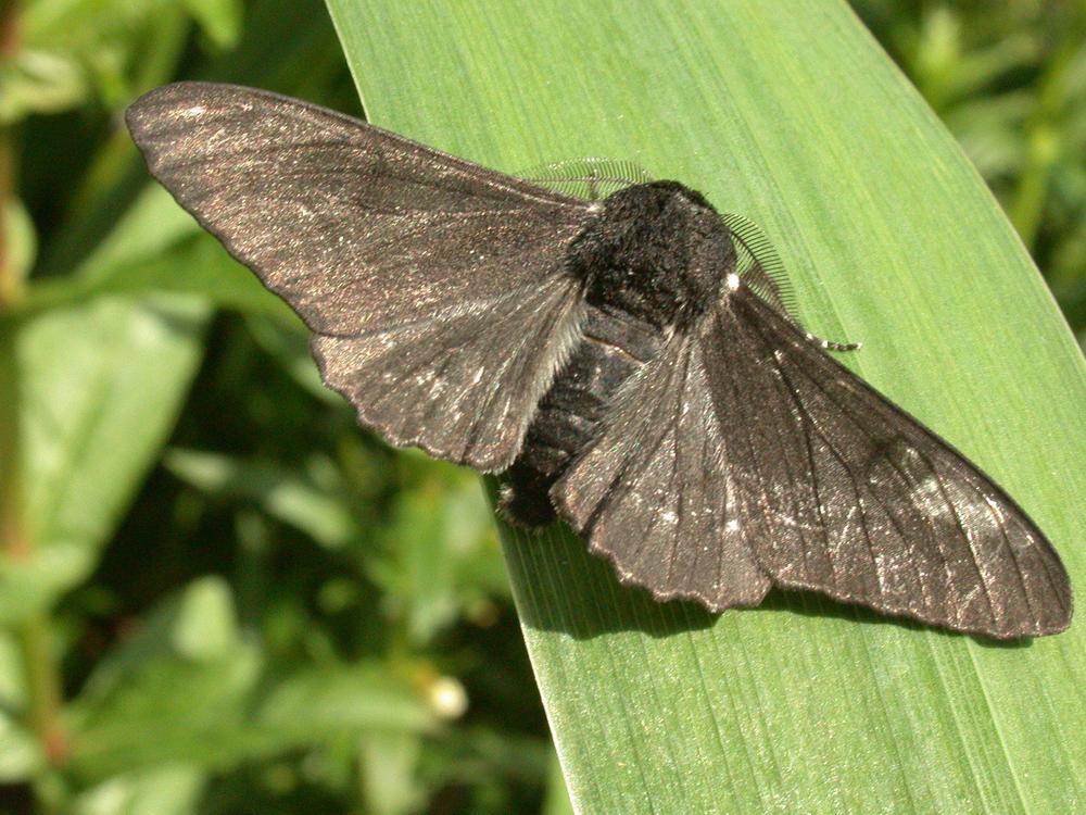 Melanic Peppered Moth (Biston betularia)