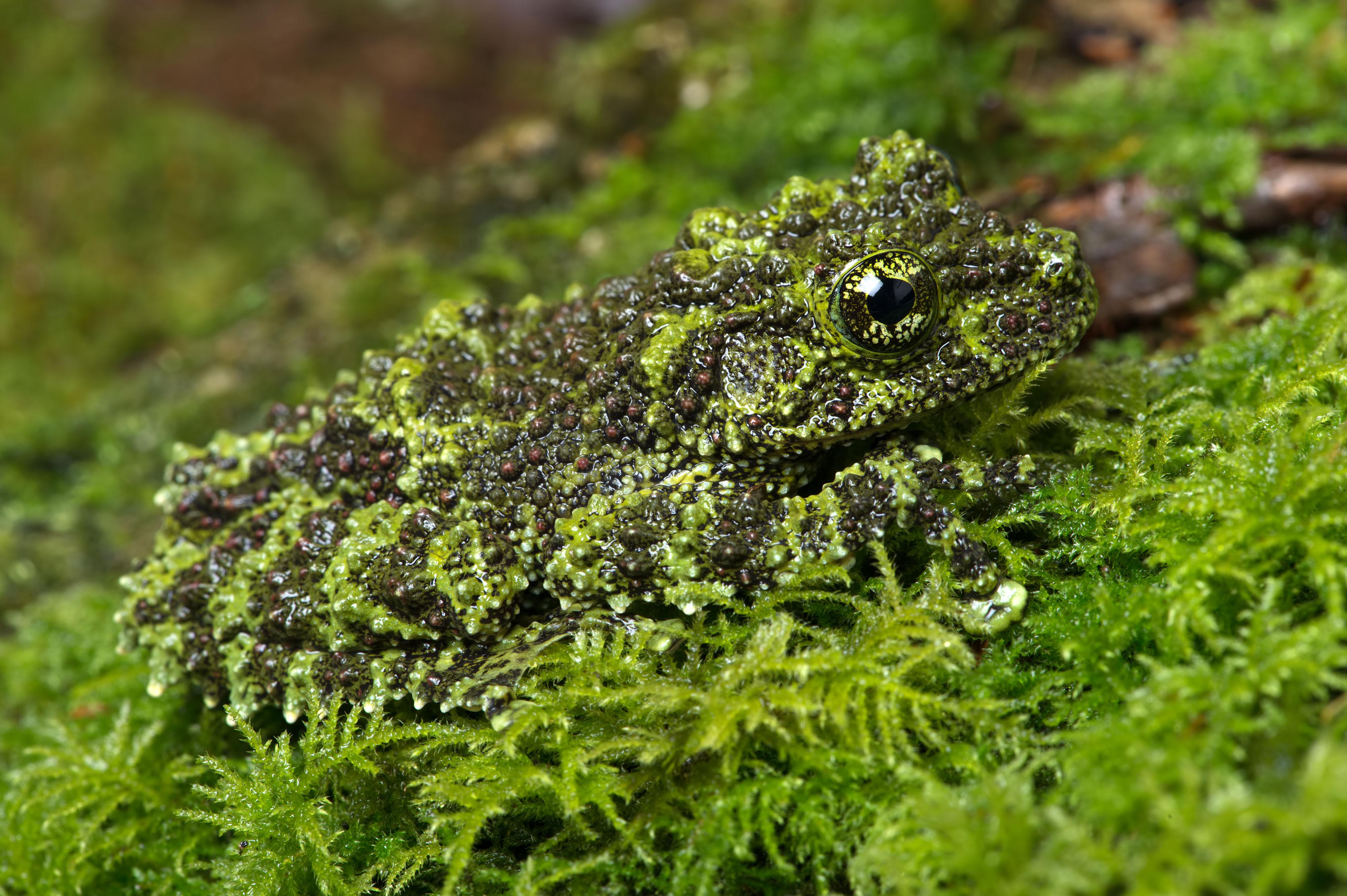 La grenouille mousse du Vietnam camouflée sur un fond mousseux – edited