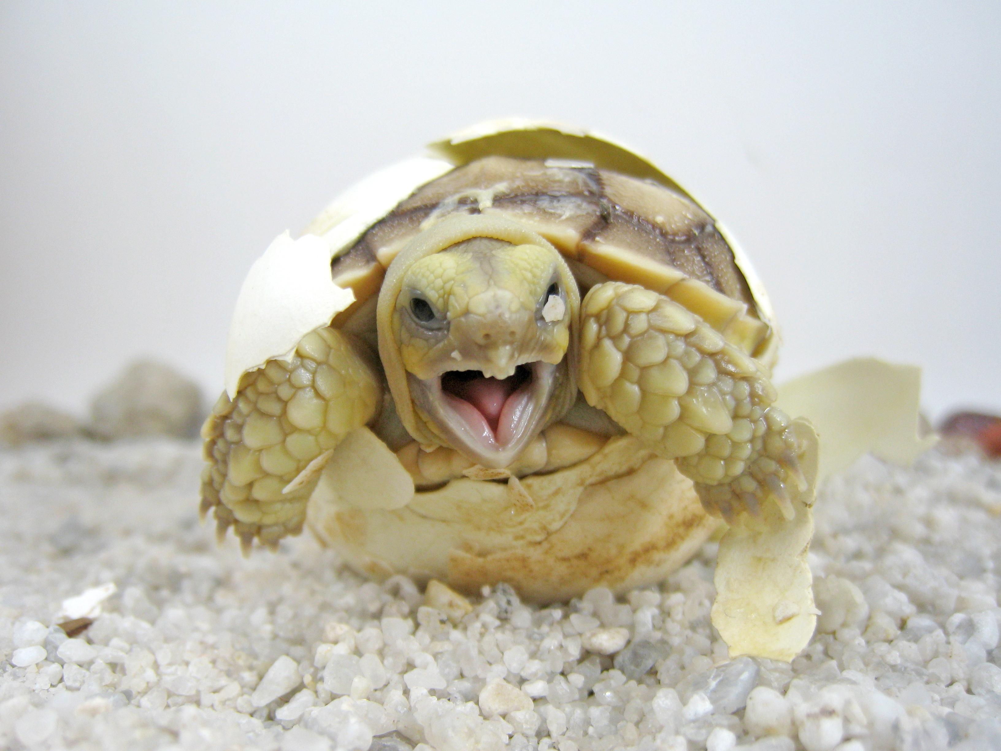 Baby tortoise hatching-72ppt