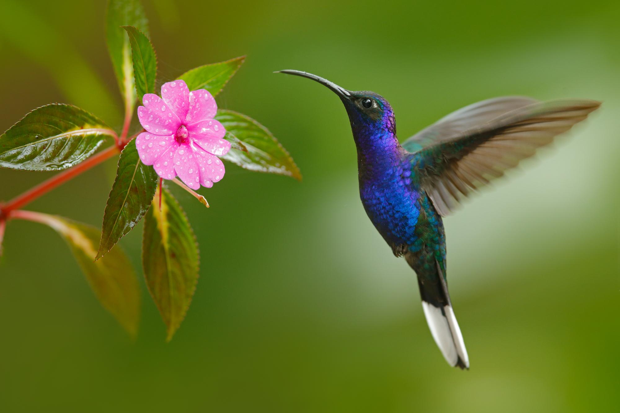 Colibri volant à côté d'une belle fleur rose