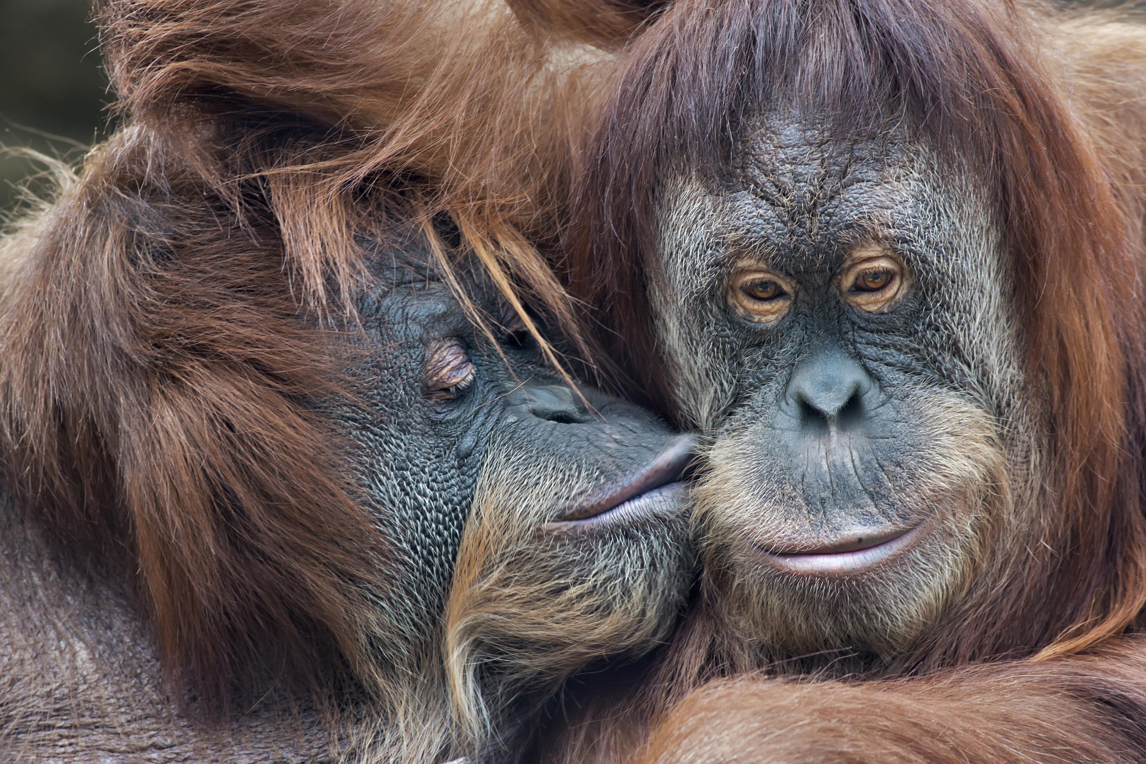 Orangutans kissing - 72 ppi