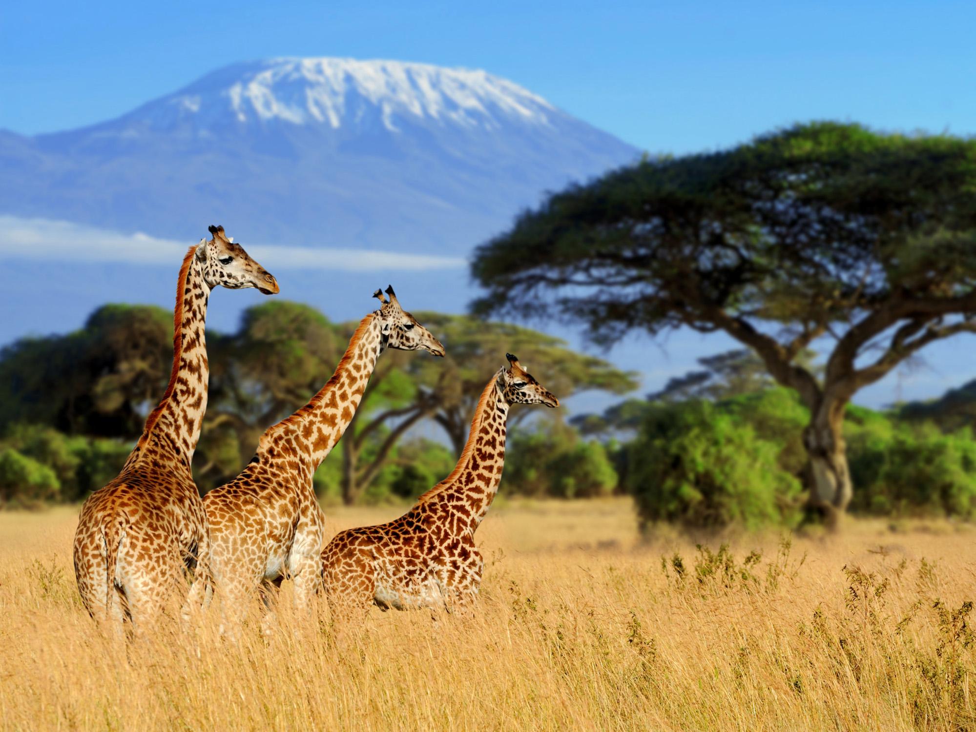 Three giraffes-72 ppi