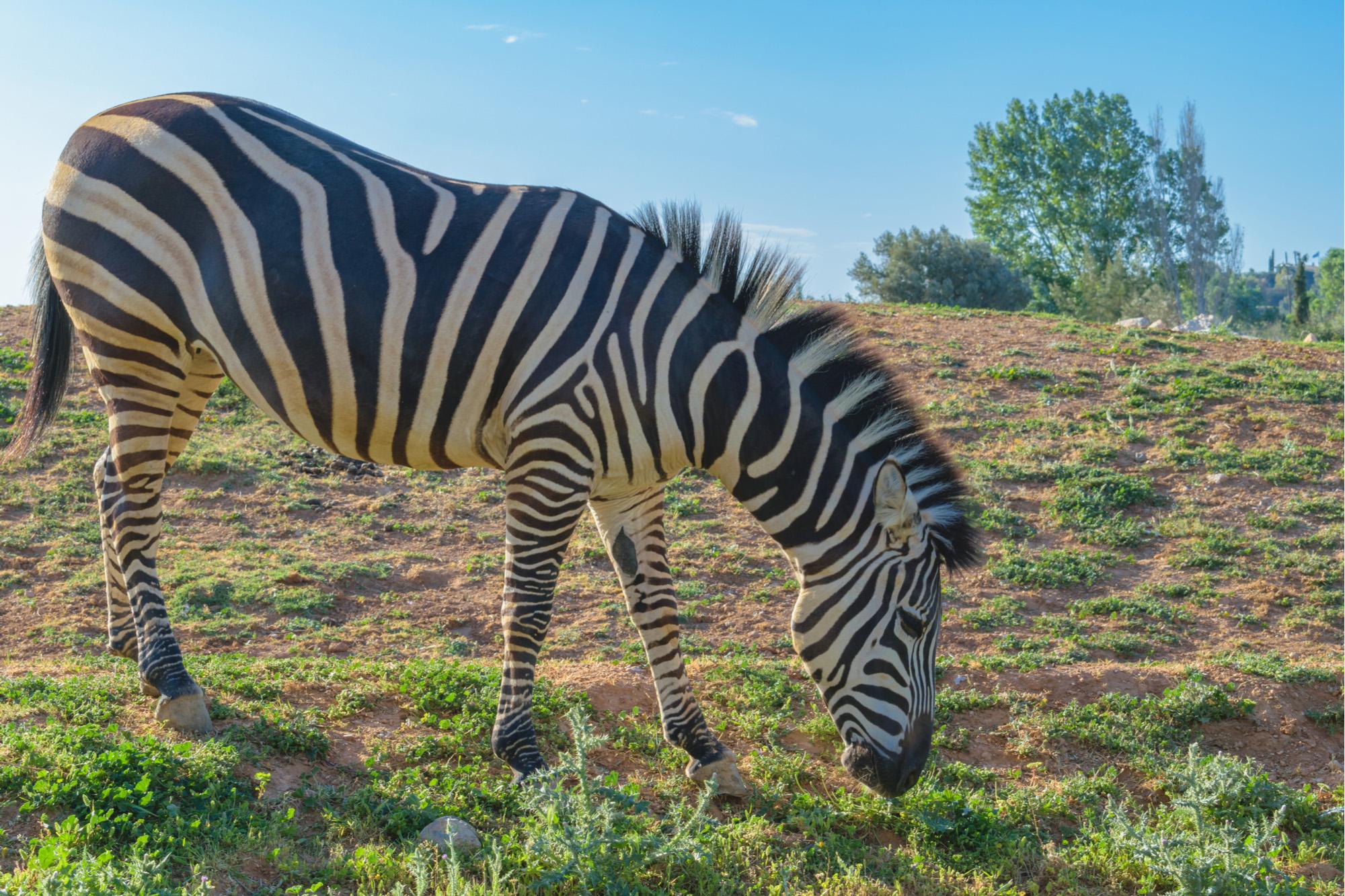 Zebra-72 ppi