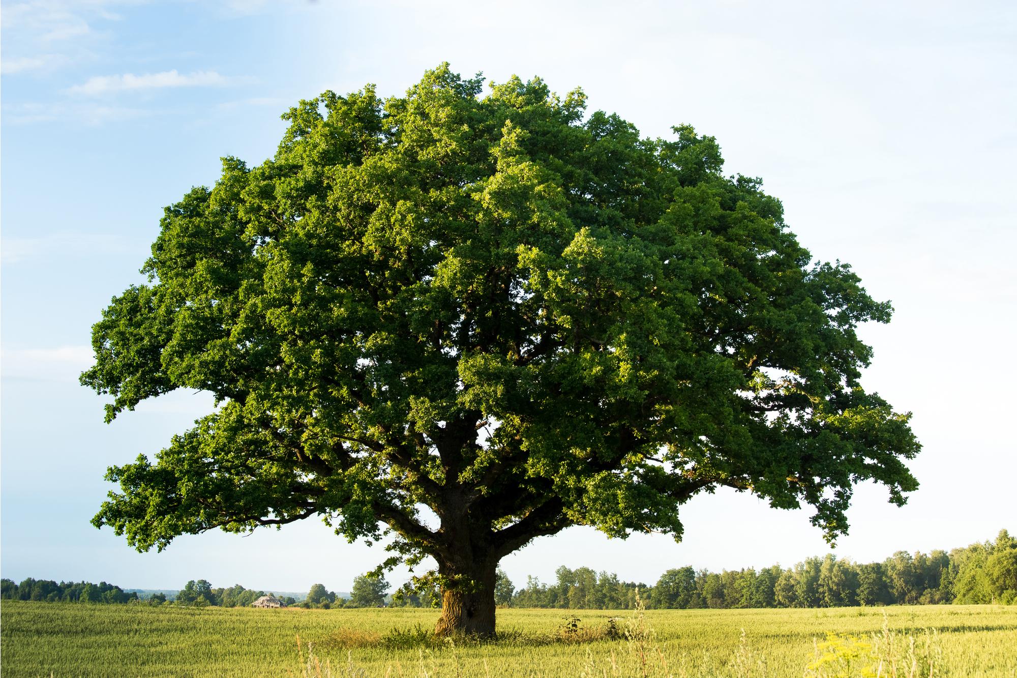 green oak tree 72 DPI