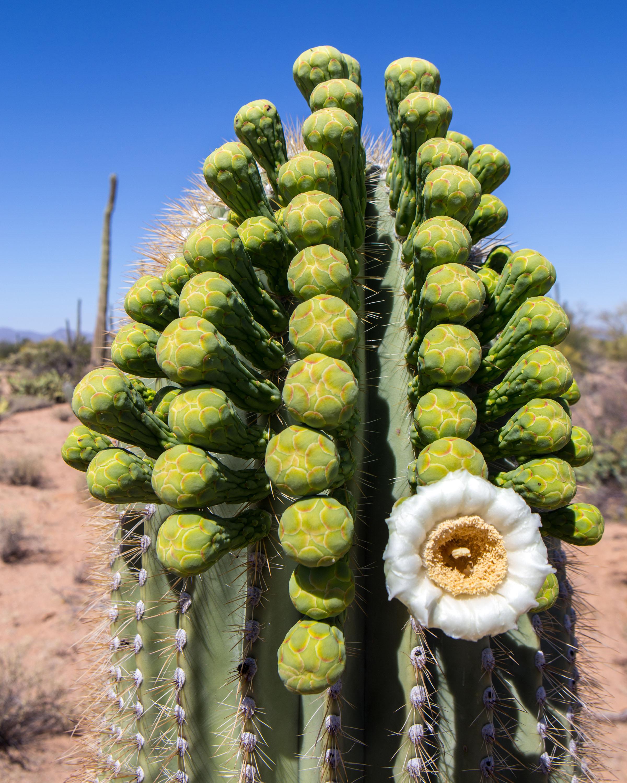 Saguaro buds1-editado