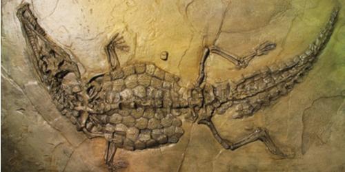 Fóssil de um crocodilo