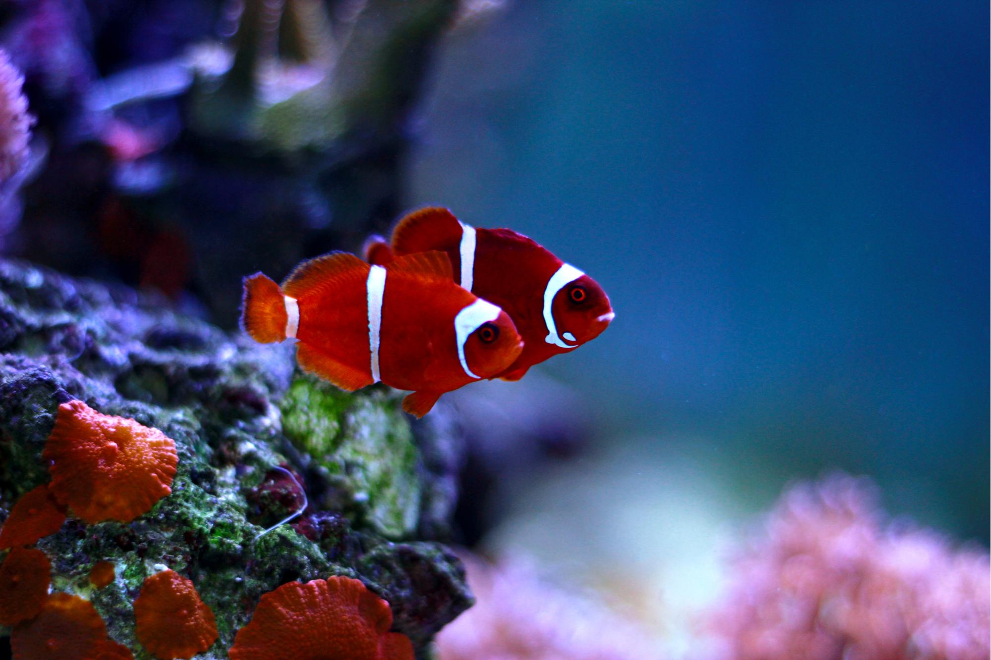 Peixe-palhaço marrom dourado-72ppi