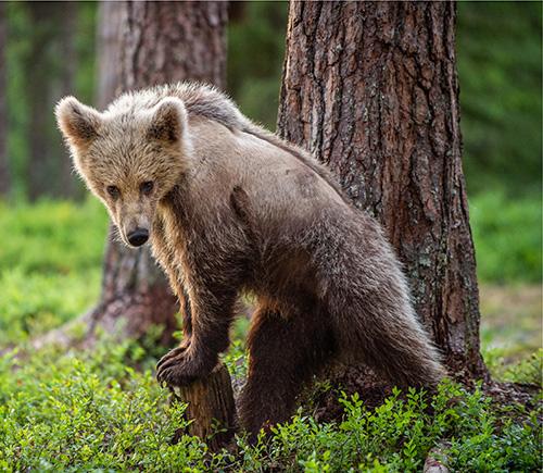 Muda de urso pardo