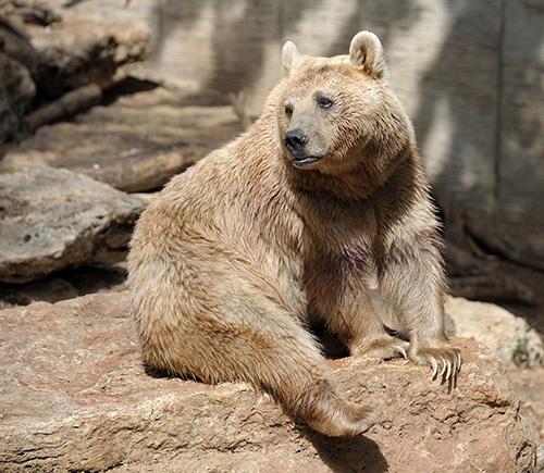 Urso pardo com pelo grosso