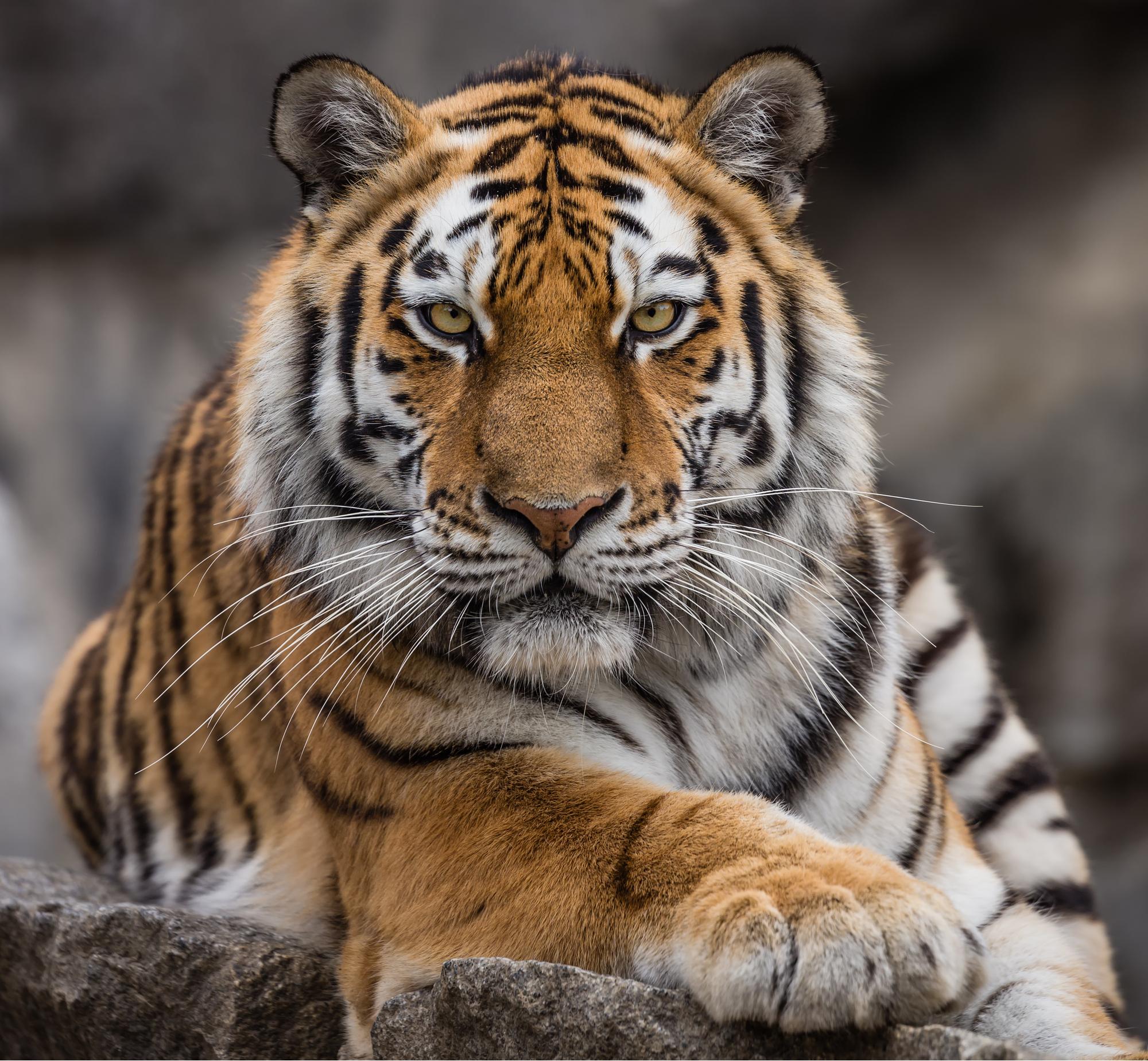 Siberian tiger 72 DPI