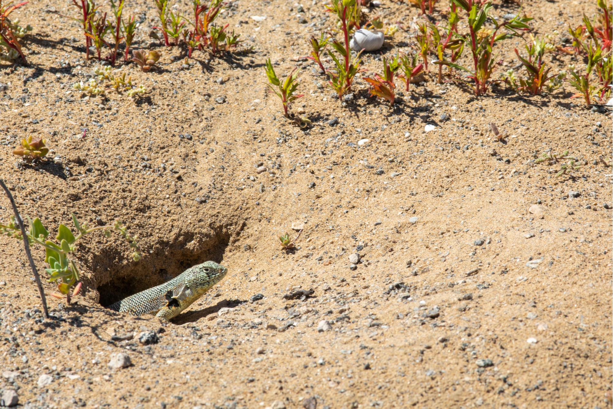 Des lézards qui s'abritent du soleil en creusant le sable