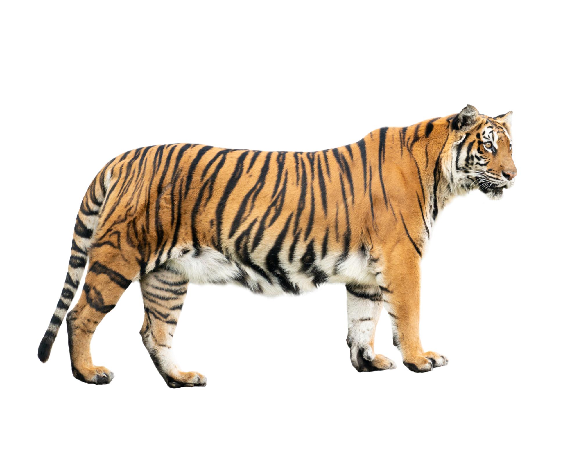 Tigre em fundo branco
