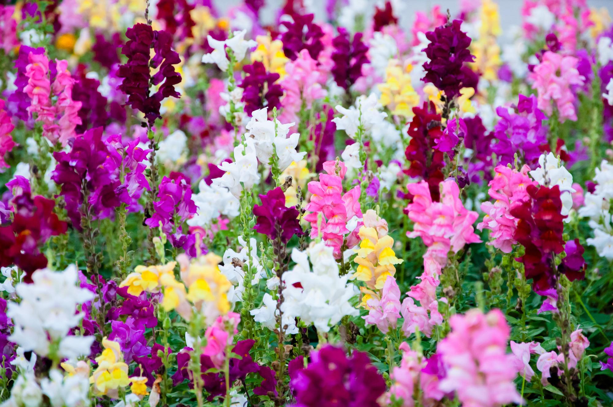 fleurs de mufliers colorés dans le jardin