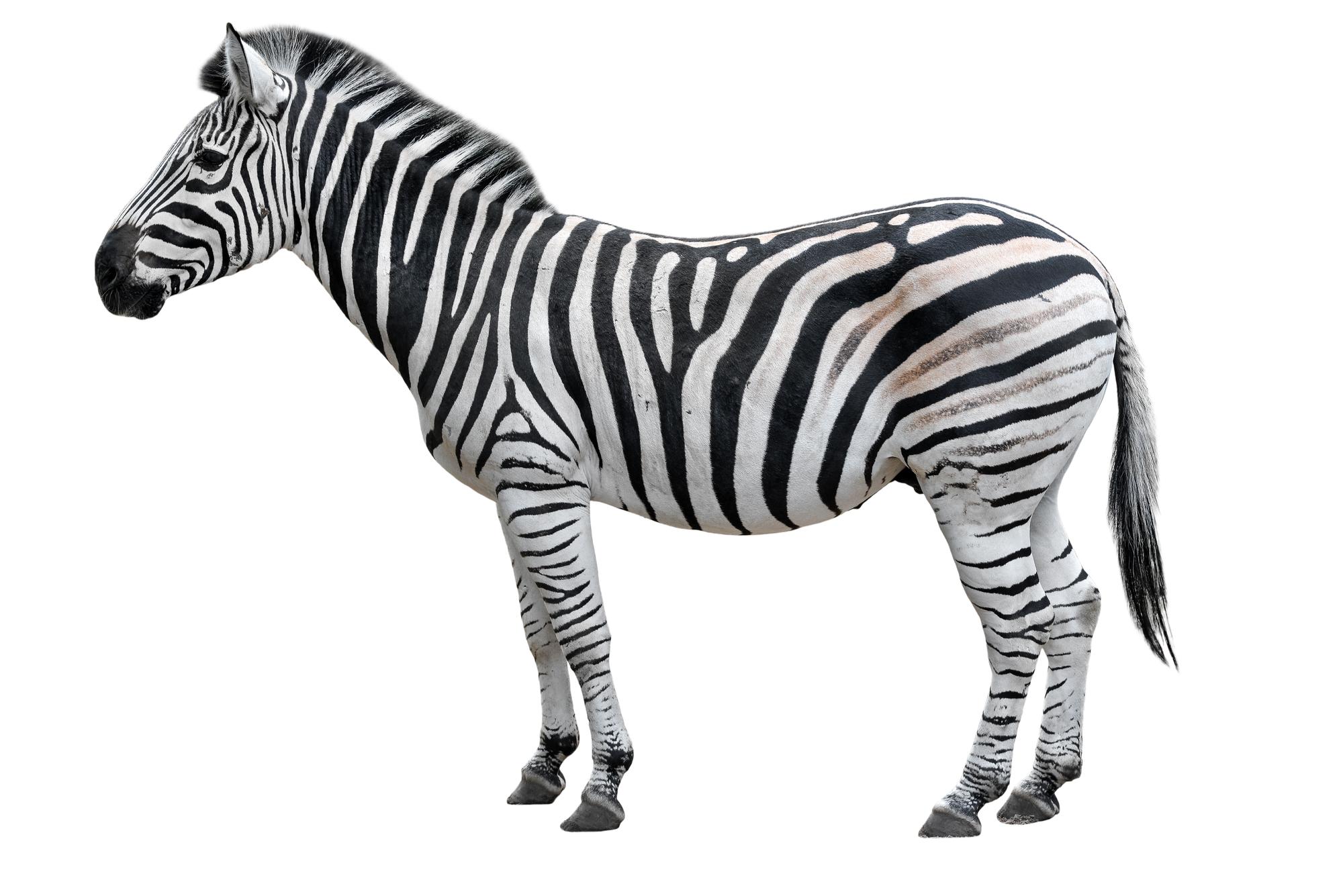 Zebra em fundo branco