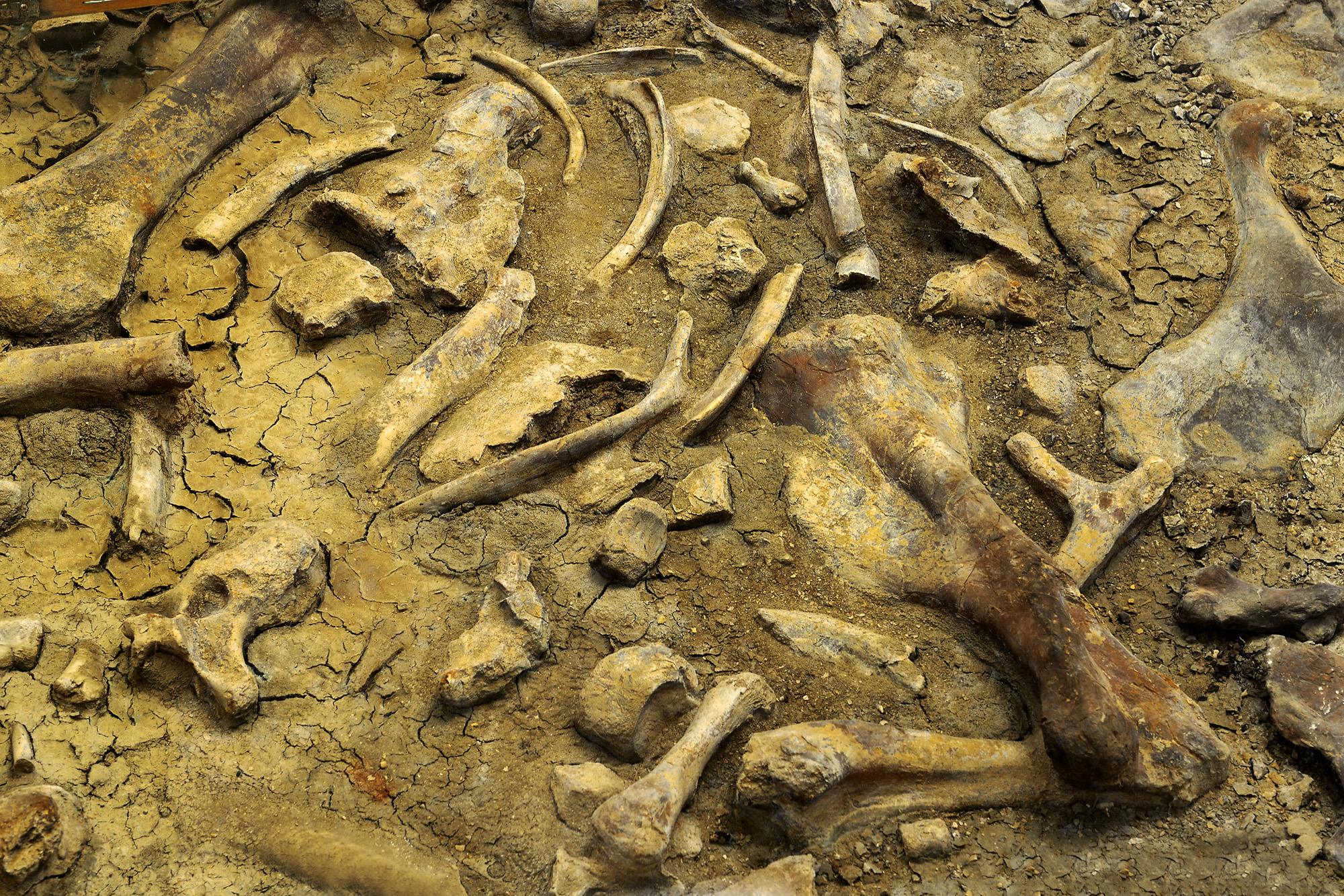 Ossos de animais pré-históricos do dinossauro