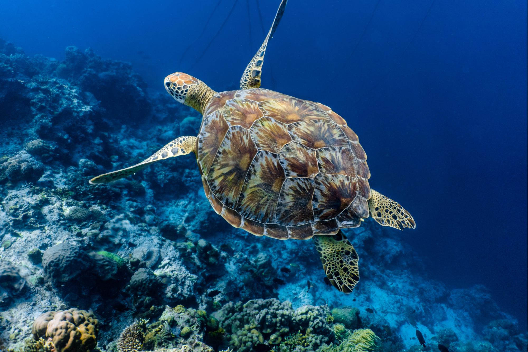 Tartaruga marinha verde nadando acima de um recife de coral zoom