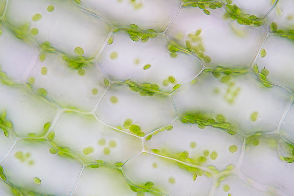 microscopy of surface leaf cell of Hydrilla verticillata