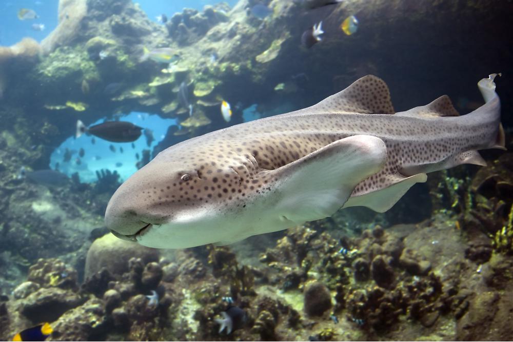 Requin zèbre / léopard