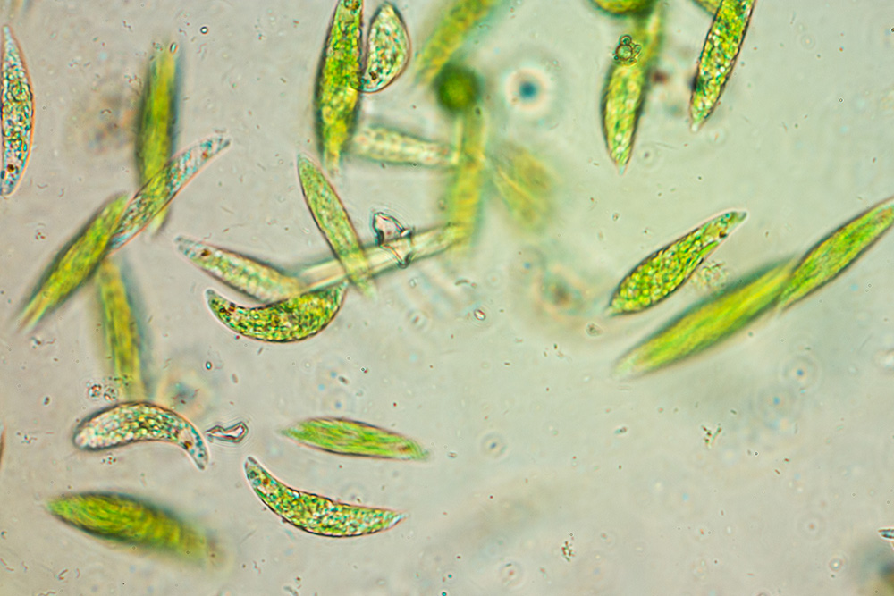Euglena is a genus of single-celled flagellate Eukaryotes