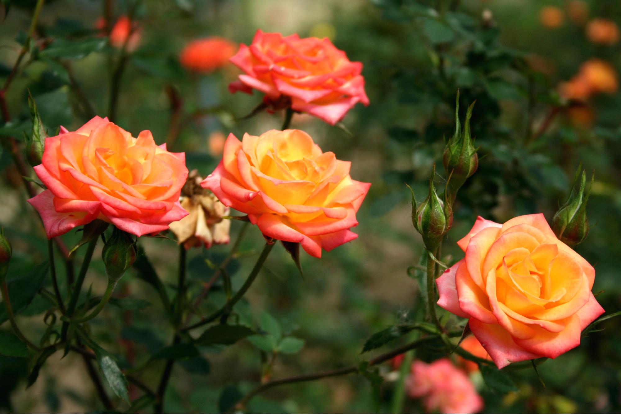 plante de rose