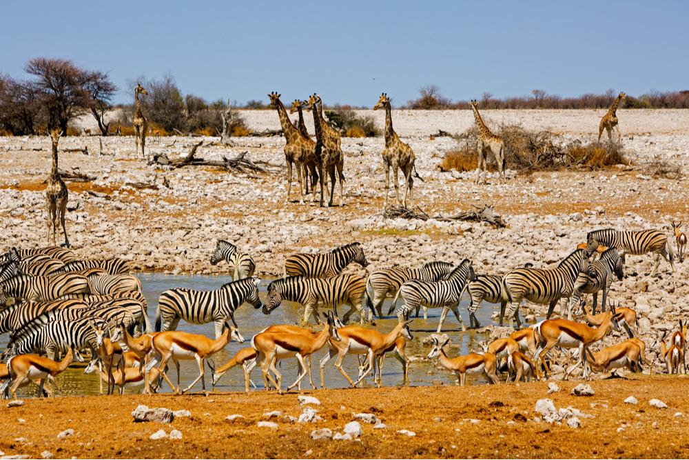 giraffe-springbok-oryx-zebra