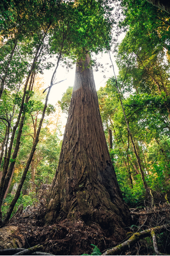 Hyperion Tree is the Tallest Tree in the World