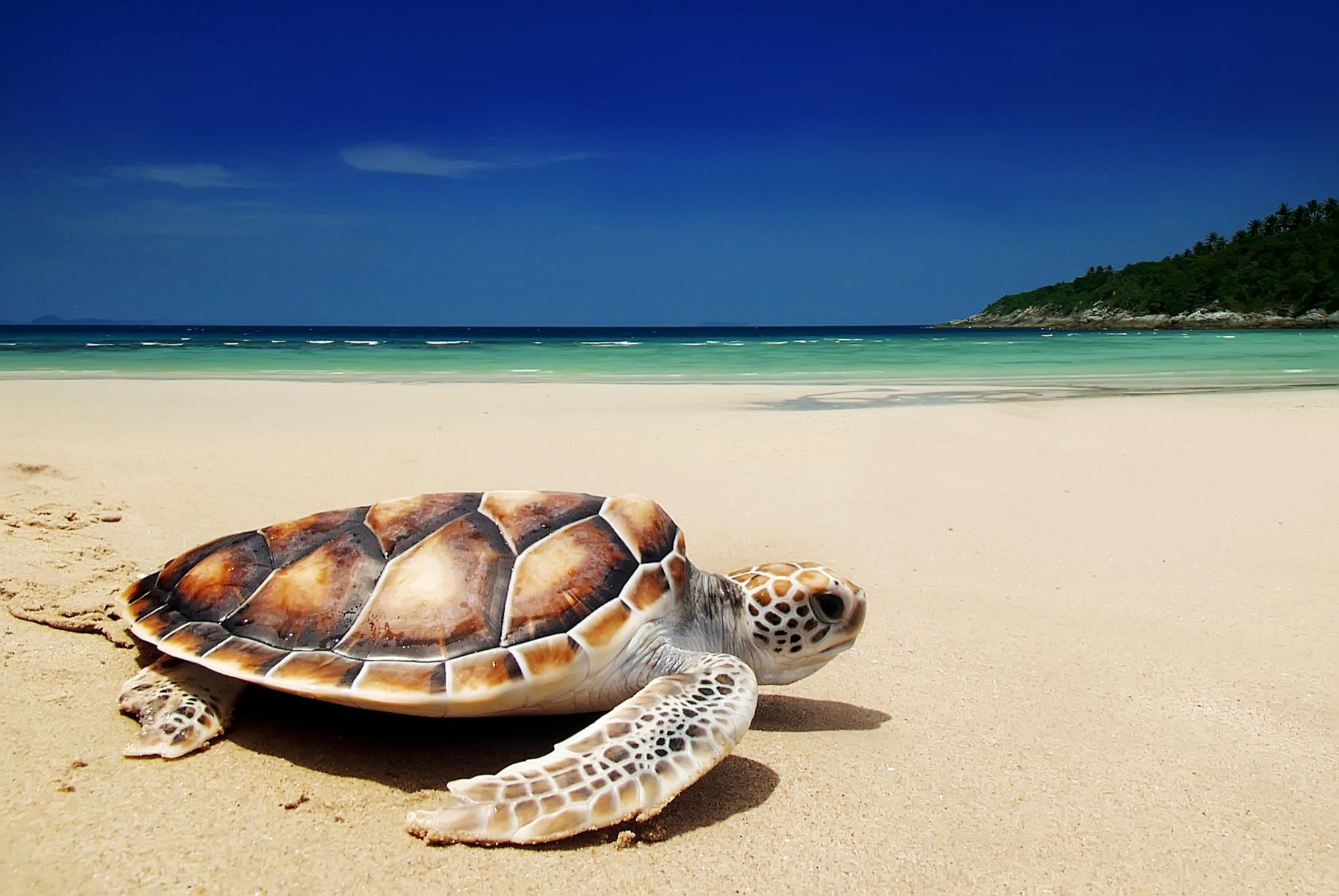 Sea turtle on the beach-72 ppi