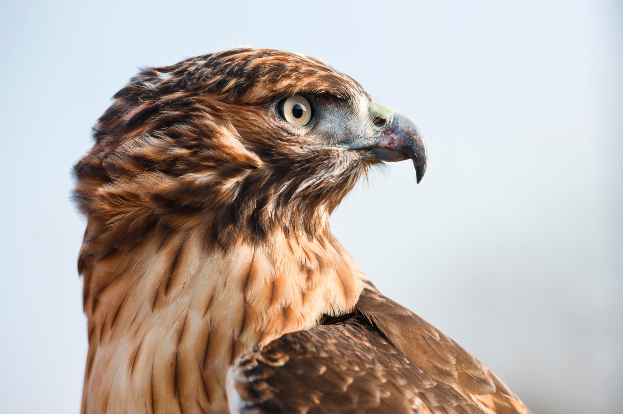 Tête de faucon