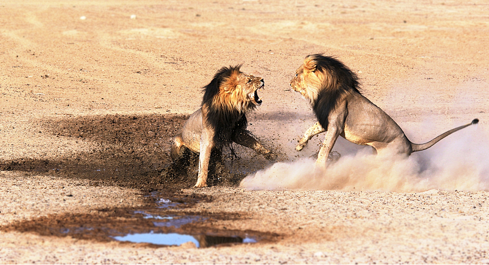 Two male lions fight for mating rights