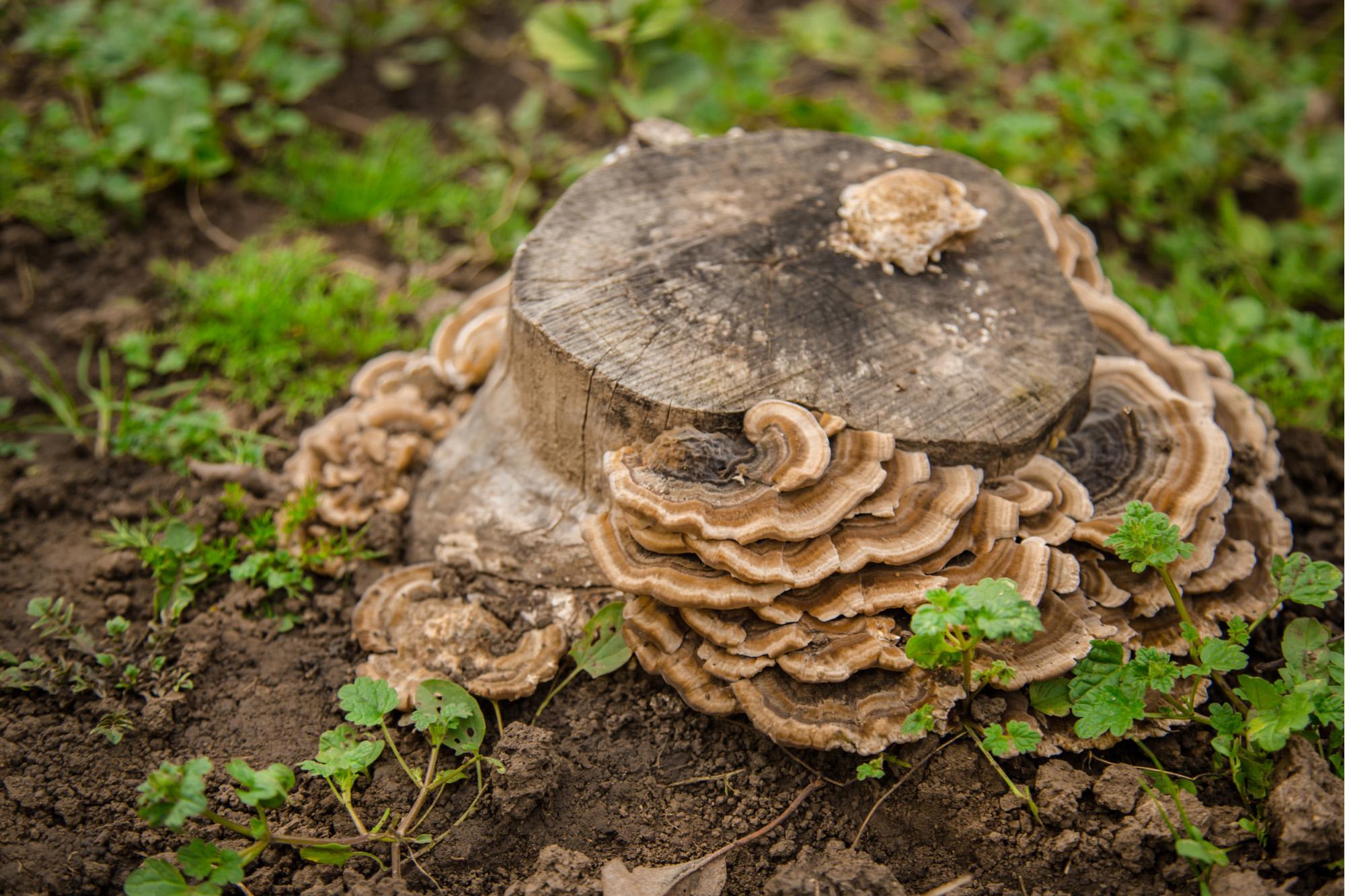 Mushroom grows on old tree