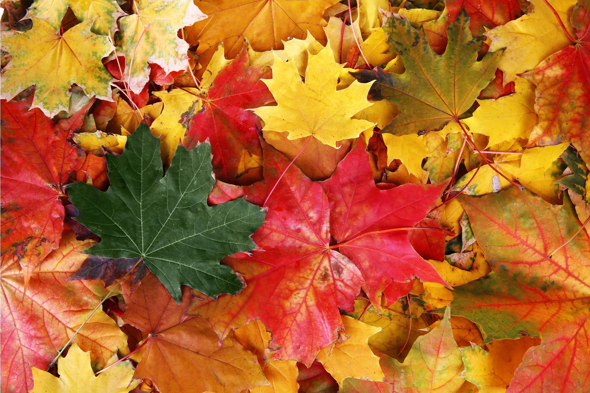 أوراق القيقب في فصل الخريف