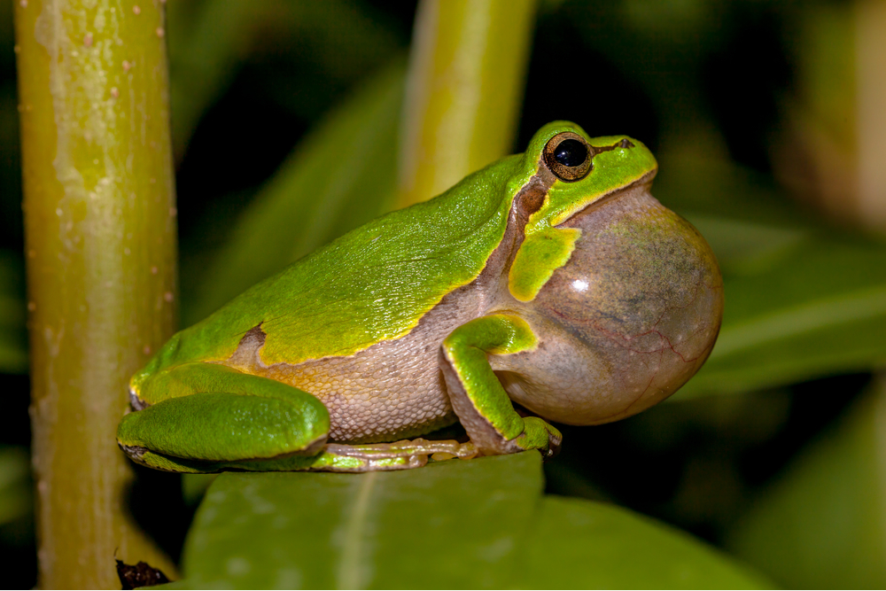 Croaking European tree frog