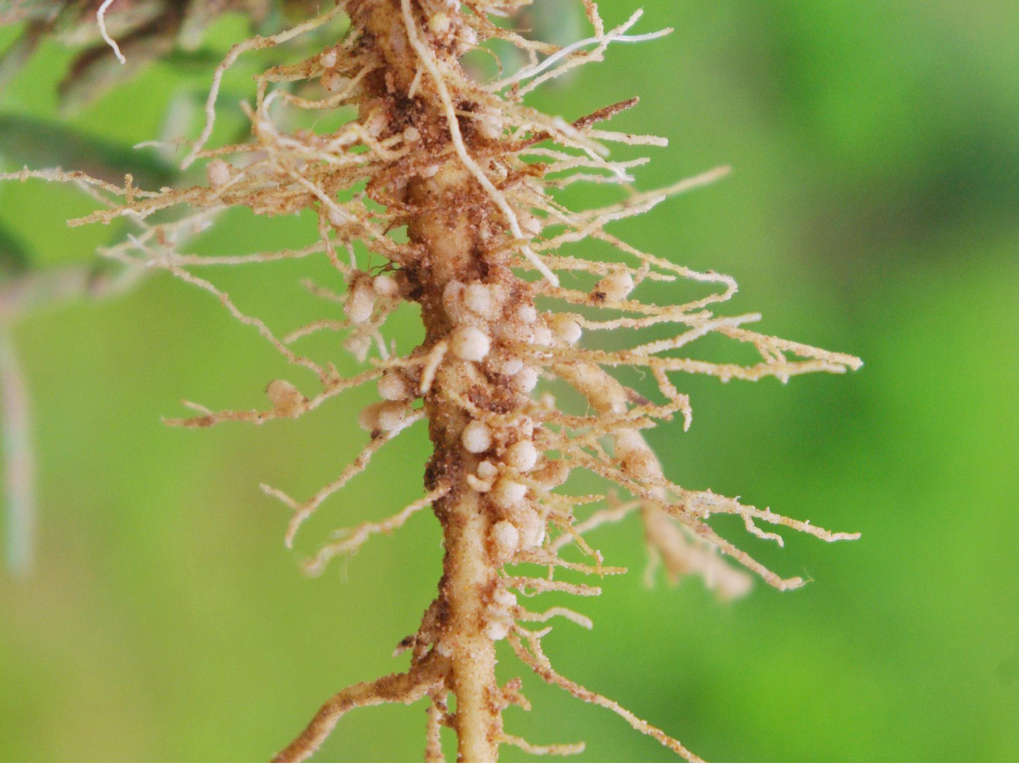Bacteria nodules of roots fix nitrogen for pea plants