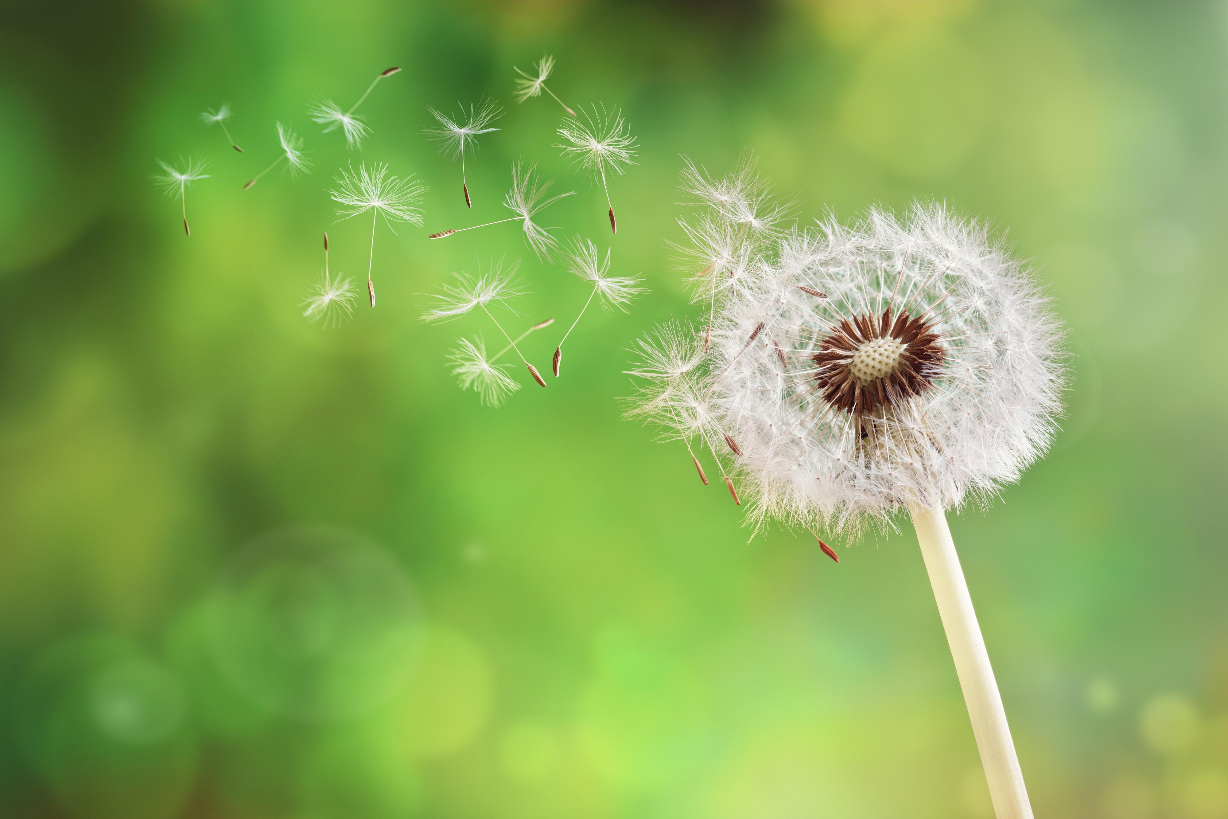 Dandelion seeds - Parachute seeds 2 - 72 ppi