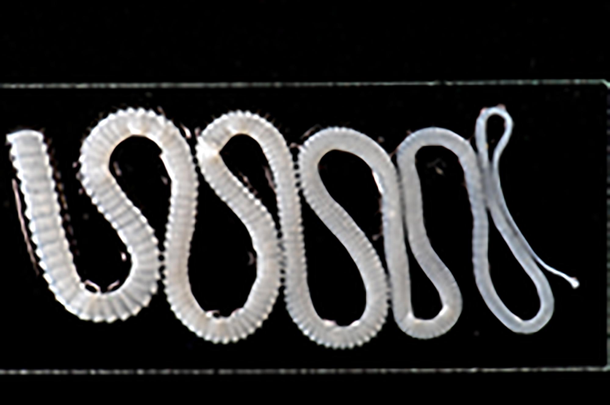 Tênia (parasita)