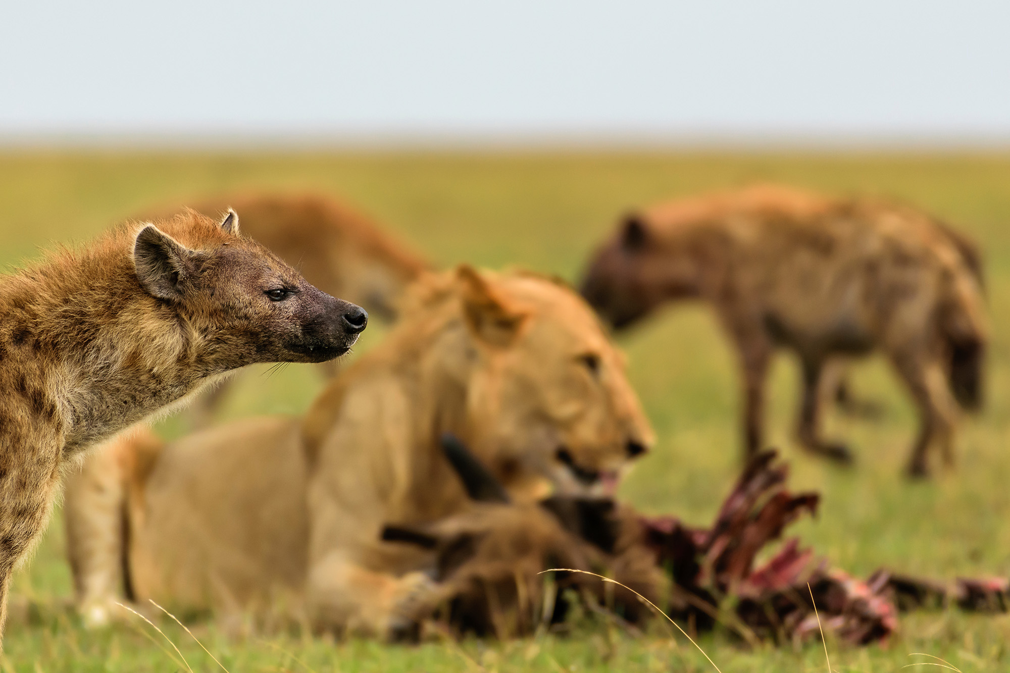 Lions and hyenas
